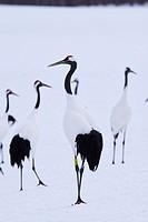 Japanese cranes, Hokkaido