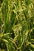 Close up of growing rice; Fang, Chiang Mai, Thailand