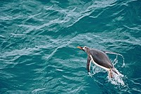 Gentoo penguin in the Southern Ocean, Antarcica