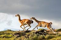 Chile,Patagonia,Magellan Region,Torres del Paine National Park,Guanaco (Lama guanicoe),fighting.