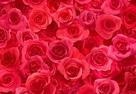 Sheet of Red Roses