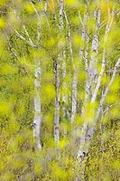Emerging floiage in young white birch trees, Greater Sudbury , Ontario, Canada