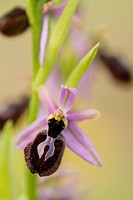 Ophrys orchid flower, Montseny, Spain.