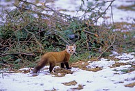 Pine Marten ( Martes martes) Adult mainly active at night & dusk living in well-wooded areas. Diet includes small mammals, birds, insects, carrion, be...