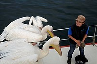 Great White Pelicans, (Pelecanus onocrotalus), and wildlife guide, on Mola Mola tour boat, Walvis Bay, Namibia, Africa.