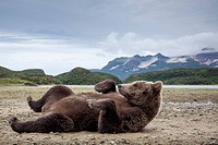 USA, Alaska, Katmai National Park, Coastal Brown Bear (Ursus arctos) rolling onto its back on tidal flats near salmon spawning stream by Kinak Bay.