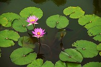 Water lilies; Hilo, Island of Hawaii, Hawaii, United States of America