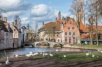 Swans pictured in Bruges.