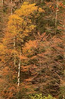 beech forest in autumn in the canyon Añisclo. National Park Ordesa and Monte Perdido. Huesca.