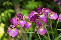 Violet Iris Versocolor Flowers