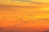 Common Cranes, Grus grus