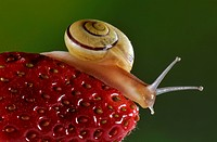Garden snail, Cepaea nemoralis, on strawberry, Italy