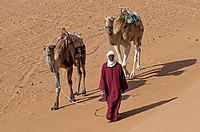 Berber man with camels walking on Tinfou dunes near Tamegrout, Zagora, Draa Valley, Morocco.