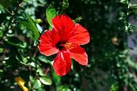 Natur, Pflanzen, Hibiskus, Eibisch, rote Bluete, Hibiskusbluete, Chinesischer Roseneibisch, Hibiscus rosa-sinensis, nature, plant life, hibiscus, rose...