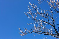 Plum blossoms and sky