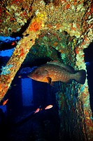 Dusky grouper haunting a wreck in the mediterranean sea. Epinephelus marginatus.