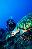 Diver looking at a swimming turle in Martinique, west indies.