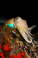 Common cuttlefish trying to catch small fishes by night in Corsica. Sepia officinalis.