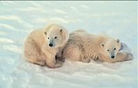 Polar bear cubs in Canadian Arctic.