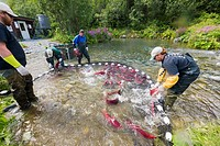 Alaska Department of Fish and Game employees capture red salmon to extract eggs for the Gulkana Hatchery, Southcentral Alaska