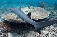 White-tip Reef Shark (Triaenodon obesus) finning by at Sipadan Island in Borneo (Kalimantan) in Malaysia.