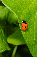Seven-spotted Ladybug Beetle (Coccinella septempunctata) on Morning Glory (Ipomea sp.).