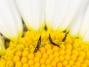 Thrips (Suocerathrips lingus), on ox-eye daisy flower (Leucanthemum vulgare), Germany