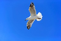 Silver Gull, (Larus novaehollandiae), flying, West Lakes Shore, South Australia, Australia