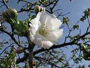 oriental cherry (Prunus serrulata 'Shirotae', Prunus serrulata Shirotae), cultivar Shirotae, flower