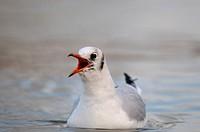 black-headed gull (Larus ridibundus, Chroicocephalus ridibundus), calling adult with winter plumage, Germany, North Rhine-Westphalia