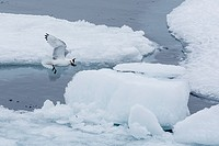 Black-legged Kittiwake, Rissa tridactyla, catching small fish amongst the ice in Lancaster Sound, Nunavut, Canada.