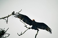 Turkey vulture perching on branch against clear sky
