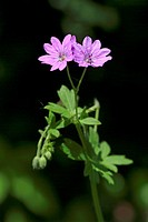hedgerow cranesbill, Pyrenees cranesbill (Geranium pyrenaicum), blooming, Germany