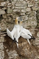 Northern Gannet (Morus bassanus) adult pair, displaying at nest on sea cliff, Bempton Cliffs RSPB Reserve, Bempton, East Yorkshire, England, March