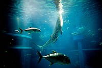 Whale Shark and Fish Swimming in Aquarium Tank