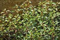 Marsh seedbox, Ludwigia palustris / Sumpfheusenkraut, Ludwigia palustris