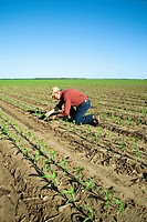 Agriculture - A farmer (grower) examines early growth grain corn plants at the four leaf stage. This crop was twin row planted, with two rows 7 inches...