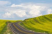 A road through a Canola field in Eastern Washington, USA. Brassica napus.