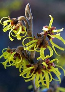 witch hazel, American witch-hazel (Hamamelis virginiana), blooming