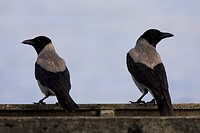Hooded crow (Corvus corone cornix, Corvus cornix), pair, Greece, Macedonia