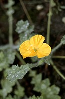 Eastern horned poppy (Dicranostigma trachelianum), blooming