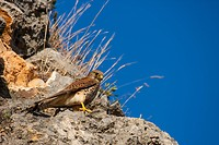 European Kestrel, Eurasian Kestrel, Old World Kestrel, Common Kestrel (Falco tinnunculus), sits on a ledge and watches the surroundings, Spain, Balear...