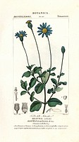 Blue daisy, Felicia amelloides. Handcoloured copperplate stipple engraving from Jussieu's 'Dictionary of Natural Science' Florence, Italy, 1837. Illus...