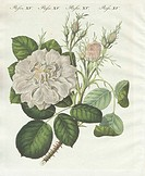 White Damask rose, Rosa Damascena flor. alba. Handcoloured copperplate engraving from Bertuch's Bilderbuch fur Kinder (Picture Book for Children) Weim...