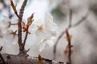 Kyoto Prefecture, Japan, Asia, Cherry Blossom,