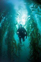 Scuba Diving in Kelp Forest, Macrocystis pyrifera, San Benito Island, Mexico