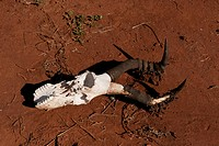 The skull of a red hartebeest.