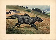 Phenacodusextinct genus of ungulate mammals from the late Paleocene through middle Eocene epoch.'Colour printed illustration (chromolithograph) by Hei...