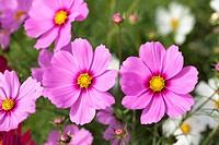 Cosmos, flower