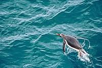 Gentoo penguin in the Southern Ocean, Antarcica